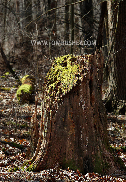 Godeffroy, New York - The top of a rotting tree trunk is covered in moss at the Neversink Preserve of the Nature Conservancy on  March 7, 2012.