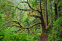 A grand mossy green tree over a hiking trail in Silver Falls State Park