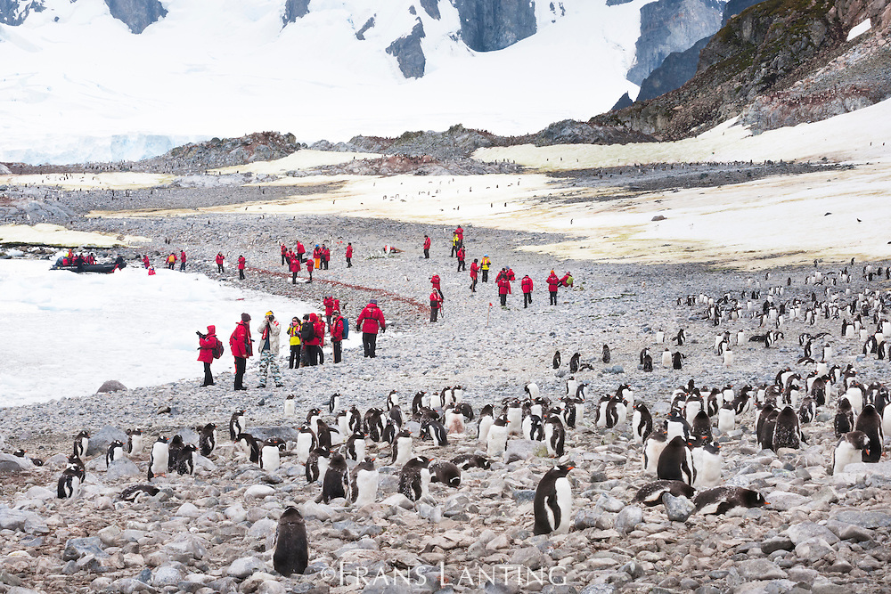 Chinese tourists visiting gentoo penguin colony, Antarctica