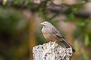 A yellow-billed babbler perches on top of a stone, Tamil Nadu, India.