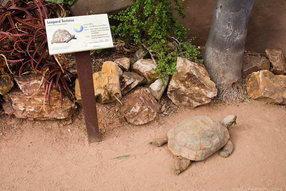 A leopard tortoise stretches out at the San Diego Zoo