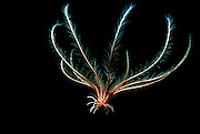 UNDERWATER MARINE LIFE EAST PACIFIC: Northeast SEA LILIES Crinoidea