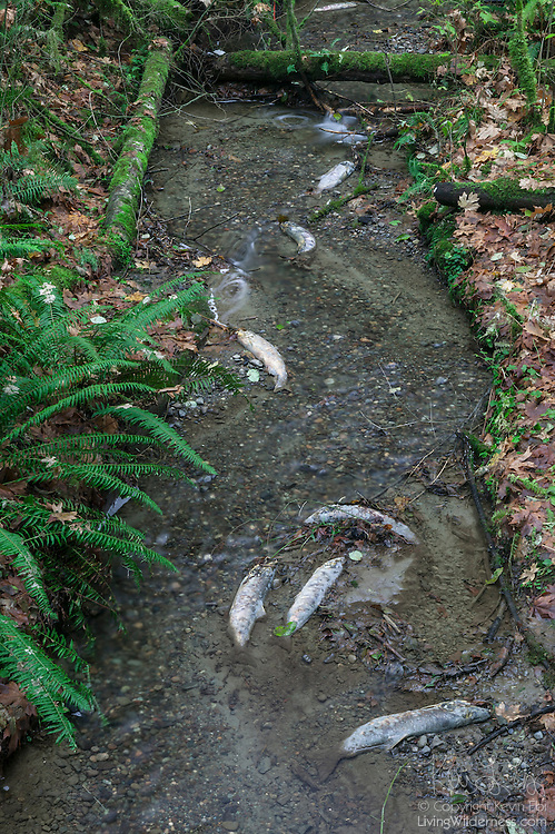 The bodies of spawned-out salmon lie in Fiscus Creek near Olympia, Washington. After spending several years in the Pacific Ocean, salmon return to the freshwater rivers and streams where they were hatched to reproduce. They die after they spawn. Their bodies provide nutrients for the water and a source of food for eagles, gulls, and other animals.