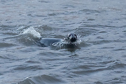Stormy weather in East Lothian 11 January 2017; a grey seal shelters from the storm in Cockenzie harbour, East Lothian.<br /> <br /> (c) Chris McCluskie   Edinburgh Elite media