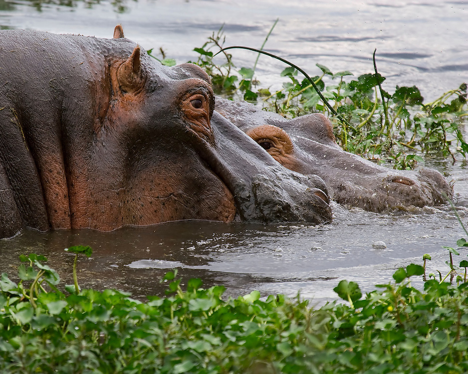 (Hippopotamus amphibius) Ngoitokitok Spring is one of the largest of the many fresh water springs within Ngorongoro Crater. Ngorongoro Conservation Area, Tanzania