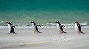 Four Gentoo penguins walk across a sandy beach near the ocean on Saunders Island, Falklands.