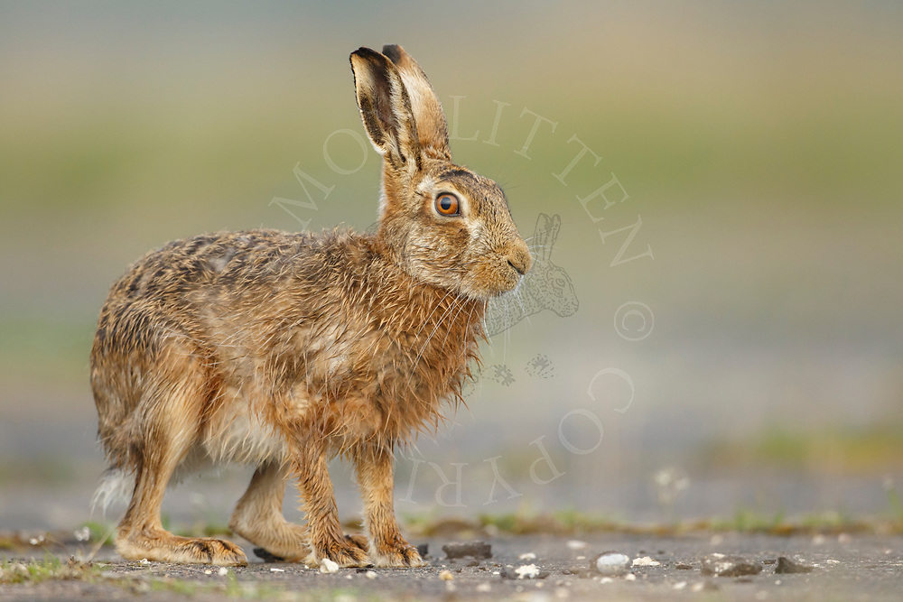 European Hare (Lepus europaeus) adult at rest on farm track, South Norfolk, UK. April.