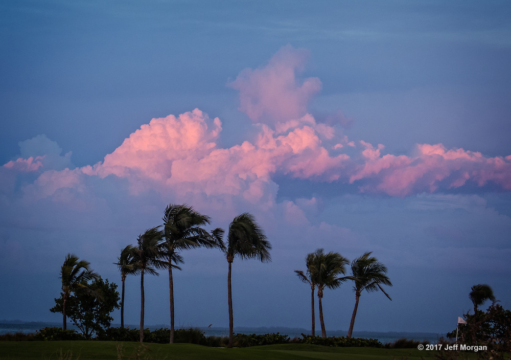 Palm trees blowing in the wind under pink clouds.