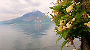 A Lady Banks Rose hangs over the water of Lake Como at the Villa Monastero in Varenna, Italy.