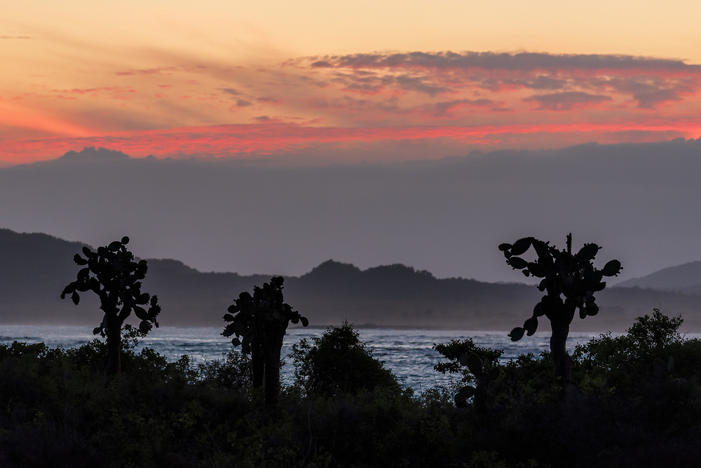 Large Prickly pear cactus and the coastline of Isabela Island at sunset, Galapagos Islands, Ecuador.