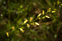 Yellow colicroot growing in the Big Cypress National Preserve along an old tram road. This was a very important medicinal plant used by that native Americans to treat digestive disorders.