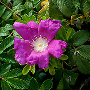 Wild Rose, Rosa rugosa at Eastern Point, Gloucester, MA
