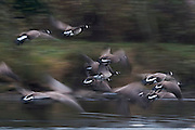 A flock of Canada geese (Branta canadensis) flies up the Snohomish River near Kenmore, Washington. The motion of the birds is blurred by a long exposure.