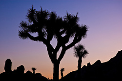 The silhouette of a Joshua Tree against a blue, purple, pink, and orange sky.