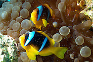 Clown fish-Poisson clown (Amphiprion bicinctus) and sea anemone (Actiniaria), Red Sea, Egypt.