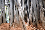 "THIMMAMMA MARRIMANU, INDIA - 25th October 2019 - Thimmamma Marrimanu - the world's largest single tree canopy. With more than 4000 roots, the banyan tree (Ficus benghalensis) was first added to the Guinness Book of World Records in 1989 (its entry updated in 2017) as being 550 years old and having the ""greatest perimeter length for a tree"", spreading over five acres with a circumference of 846m. Andhra Pradesh, South India."