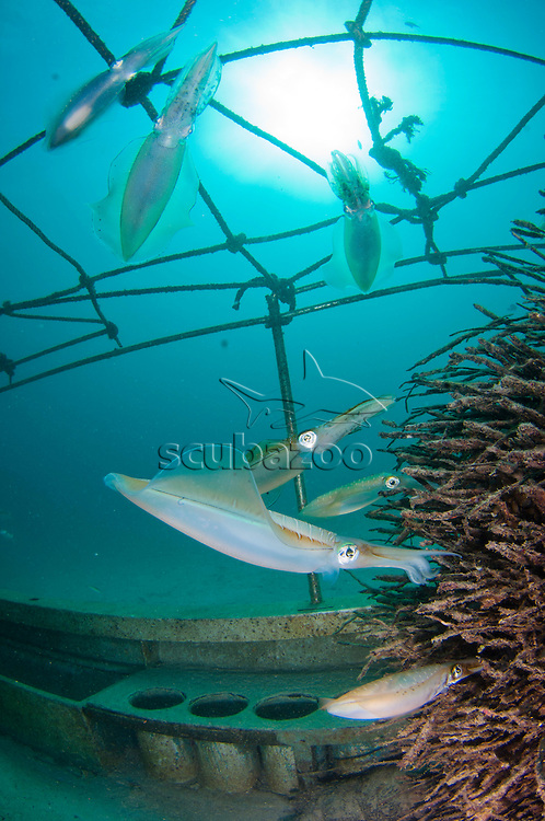 Bigfin Reef Squid, Sepioteuthis lessoniana, laying their eggs in an artificial reef of palm tree roots, Mabul, Sabah, Malaysia, Borneo.