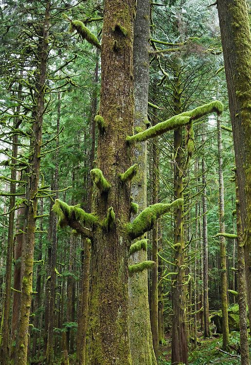 Moss covered trees in a forest in Western Washington State, USA.