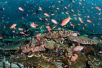 Schools of Anthias feed in the current above immaculate hard corals<br /> <br /> Shot in Indonesia