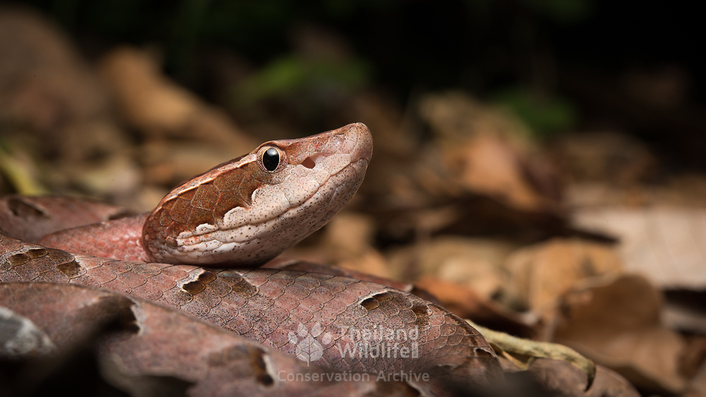 Malayan Pit Viper (Calloselasma rhodostoma) in Sawi district, Chumphon, Thailand