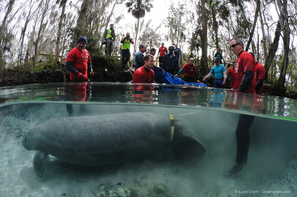 Florida manatee, Trichechus manatus latirostris, a subspecies of the West Indian manatee, endangered. February 13, 2012 there are releases of three rehabilitated manatees back into the wild. This is Krystal, the third of the releases. Krystal the manatee swims away with tracking buoy attached as soon as freedom calls. Personnel from United States Fish and Wildlife Services and four other parties conduct the successful release.  Horizontal orientation split image. Three Sisters Springs, Crystal River National Wildlife Refuge, Kings Bay, Crystal River, Citrus County, Florida USA.