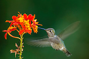 Anna's Hummingbird (Calypte anna) - and nectar of the faux orchid, La Mesa, CA