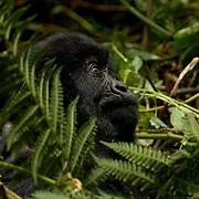 Mountain Gorilla (Gorilla beringei beringei) <br /> Virunga Volcanoes - Parc National des Volcans, Rwanda