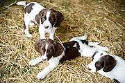 Springer pups from Graney Hill Kennel at Side by Side in Sanford, NC.