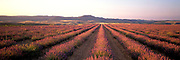 SPAIN, AGRICULTURE Lavender fields near Teruel