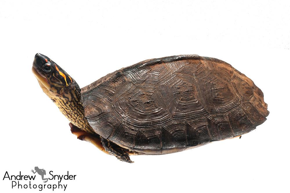 South American Wood Turtle (Rhinoclemmys punctularia) - Berbice, Guyana.