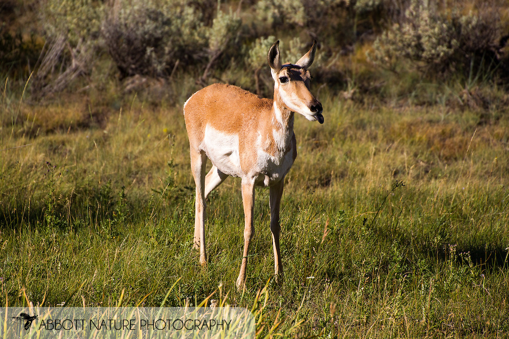 Pronhorn (Antilocapra americana) - female<br /> WYOMING: Park Co.<br /> Lamar Valley<br /> Yellowstone National Park<br /> 30-July-2012<br /> J.C. Abbott &amp; K.K. Abbott