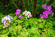 Orchids at the Hawaii Tropical Botanical Garden, Hamakua Coast, The Big Island, Hawaii