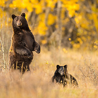 blackbear sow and cub in fall colors