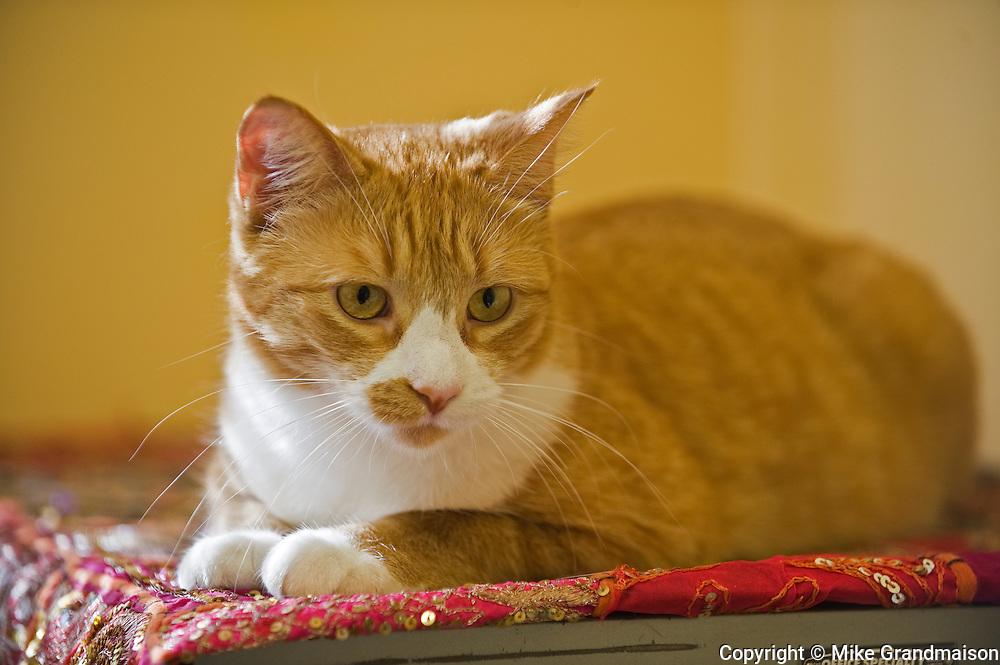 House cat (tabby)<br /> <br /> Winnipeg<br /> Manitoba<br /> Canada