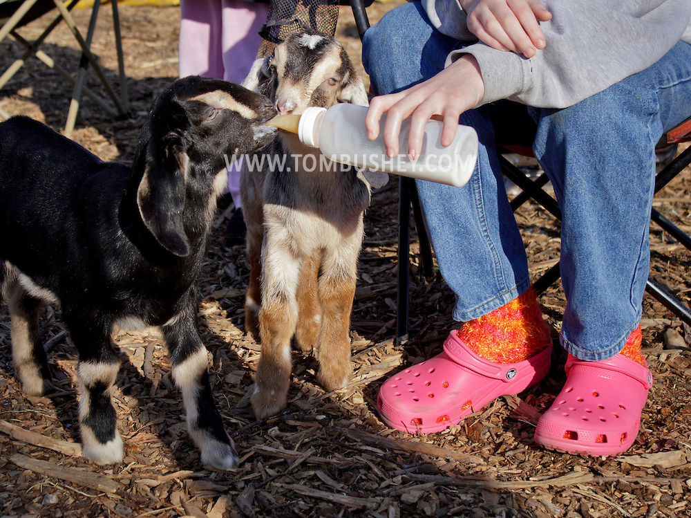Cornwall, New York - A girl feeds a baby dairy goats with a bottle at Edgwick Farm on Feb. 4, 2012. ©Tom Bushey / The Image Works