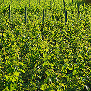 Shinn Estate Vineyard, Mattituck, Oregon Road, Long Island, New York North Fork