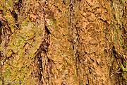 Douglas Bir bark