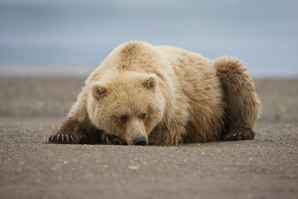 USA, Alaska, Katmai National Park,  Brown Bear (Ursus arctos) resting on gravel river bed along Hallo Bay