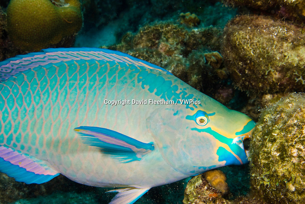 A queen parrotfish, feeding, Scarus vetula, terminal male or supermale phase,  Bonaire, Netherlands Antilles, Caribbean.
