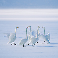 Whooper swans vocalize on frozen Lake Kussharo.