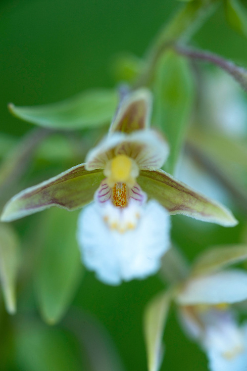 Marsh helleborine {Epipactis palustris} in wetland in Codrii National park, central Moldova