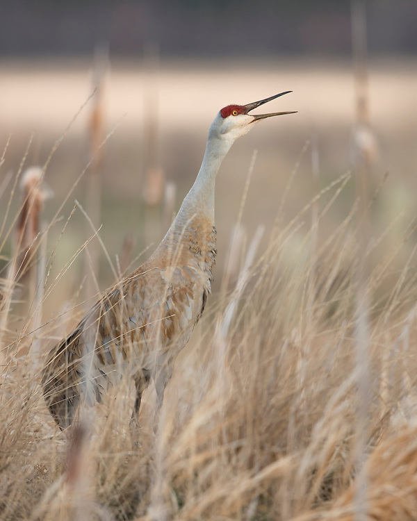 A Sandhill Crane (Grus Canadensis) calls out to a nearby mating pair, Western Montana