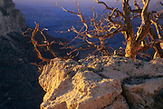 Evening light on dead tree on the south rim of the Grand Canyon, Grand Canyon National Park, Arizona