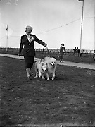 Miss L Rogers, Auburn Villa, Tivoli Rd., Dun Laoghaire with her two Samoyeds at Bray Dog Show.16/08/1952