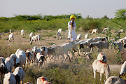 Goatherd with herd of goats in farming scene near Rohet, Rajasthan, Northern India