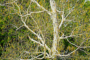 Birch tree (Betual papyrifera) with catkins  in spring.<br /> Dorset<br /> Ontario<br /> Canada