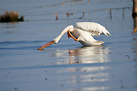 American white Pelican (Pelicanus erythrorhynchos) swimming in Lake Chapala - Ajijic, Jalisco, Mexico