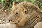 Closeup portrait of a lion. Photographed at the Queen Elizabeth National Park, Ishasha Sector, Uganda