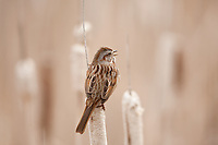 A Song Sparrow perched shows its back feathers and tail singing on a cattail.