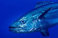 Gymnosarda unicolor (Dogtooth Tuna)